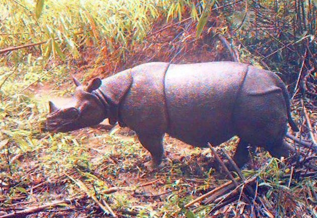 In this undated image released by Ujung Kulon National Park, an adult male Javan rhino is caught by a video trap at Ujung Kulon National Park in West Java, Indonesia.  Camera traps in the Indonesian p
