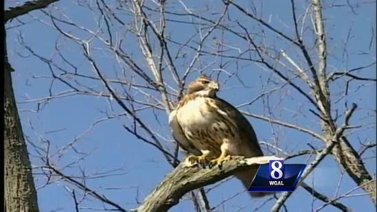 Are birds of prey a danger to dogs?