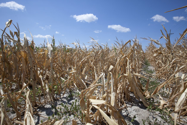 A dry field of corn is seen near Ashland, Neb., Thursday, Aug. 9, 2012. The latest U.S. drought map shows that excessively dry conditions continue to worsen in the Midwest states that are key producers of corn and soybeans. This is the worst U.S. drought in decades. The weekly U.S. Drought Monitor map released Thursday, Aug. 9. 2012 shows that the area gripped by extreme or exceptional drought rose nearly 2 percent to 24.14 percent. (AP Photo/Nati Harnik)