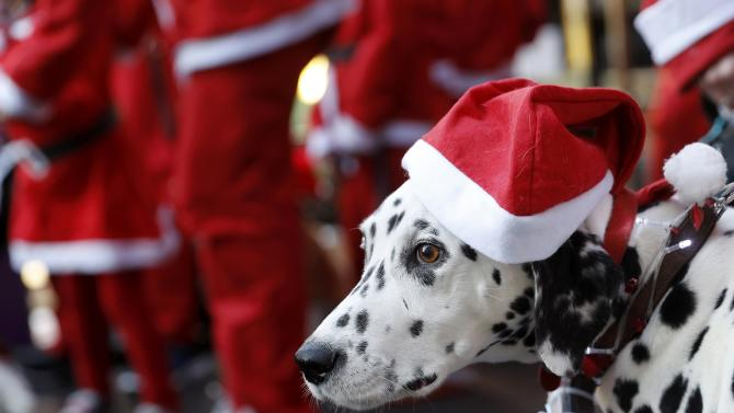 A dog with a Santa hat waits with its owner to start the annual charity Santa run in Loughborough