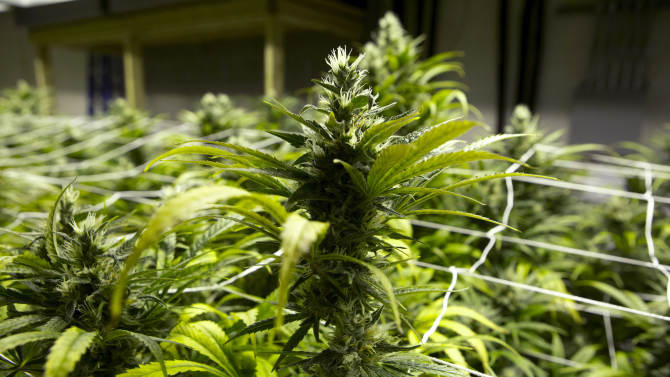 This Jan. 26, 2013 photo taken at a grow house in Denver shows a marijuana plants ready to be harvested. Last fall, voters made Washington and Colorado the first states to pass laws legalizing the recreational use of marijuana and setting up systems of state-licensed growers, processors and retail stores where adults over 21 can walk in and buy up to an ounce of heavily taxed cannabis. Both states are working to develop rules for the emerging recreational pot industry, with sales set to begin later this year.(AP Photo/Ed Andrieski)