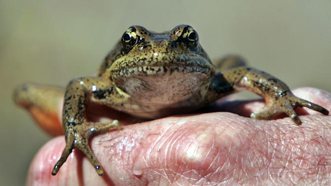 This April 19, 2005 file photo shows a red-legged frog being displayed for visitors after being captured by a Forest Service ecologist in a pond at the Mount St. Helens National Monument, Wash. A new study from the U.S. Geological Survey finds that frogs and other amphibians are disappearing from occupied sites nationwide at the rate of 3.7 percent a year. That puts them on a path to disappearing from half the occupied sites within 20 years. (AP Photo/Elaine Thompson)