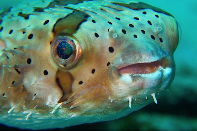 This Common Puffer Fish, spotted in Pulau Redang, Malaysia, is adorable. It looks as if he's smiling at us. :)