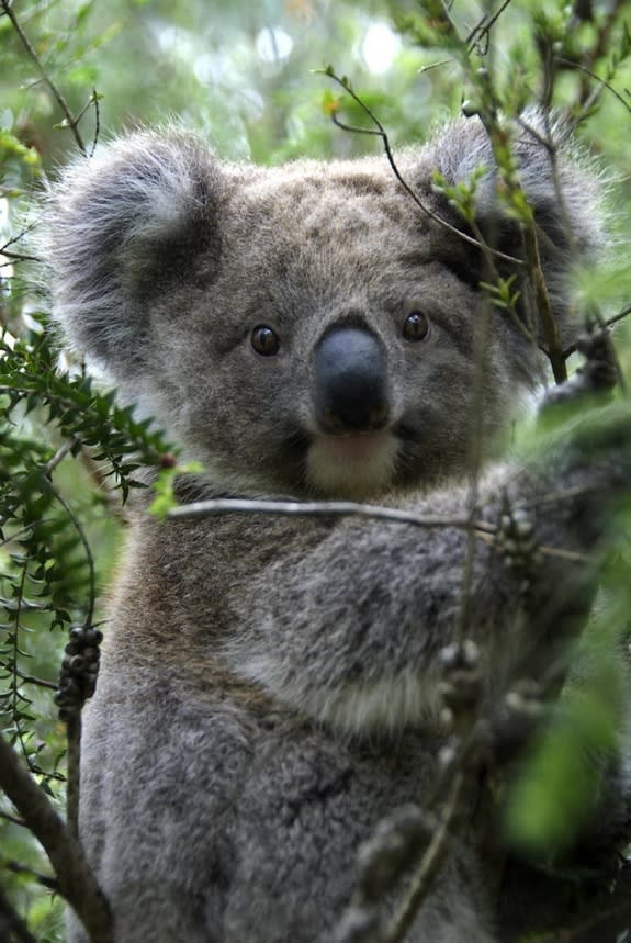 Why Koalas Hug Trees