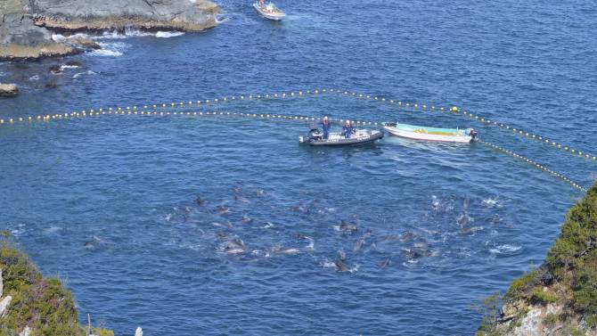 In this Thursday, Jan. 16, 2014 photo provided by Sea Shepherd Conservation Society Tuesday, Jan. 21, bottlenose dolphins are confined in nets in a cove by fishermen in Taiji, western Japan. Japanese fishermen have finished killing some of the 250 dolphins trapped recently in what activists say was the biggest roundup they have witnessed in the last four years. Sea Shepherd, best known for its anti-whaling activities, said the fishermen first selected 52 dolphins to keep alive for sale to aquariums and other customers. (AP Photo/Sea Shepherd Conservation Society) NO SALES