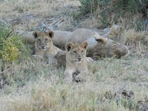 Becoming King: Why So Few Male Lions Survive to Adulthood