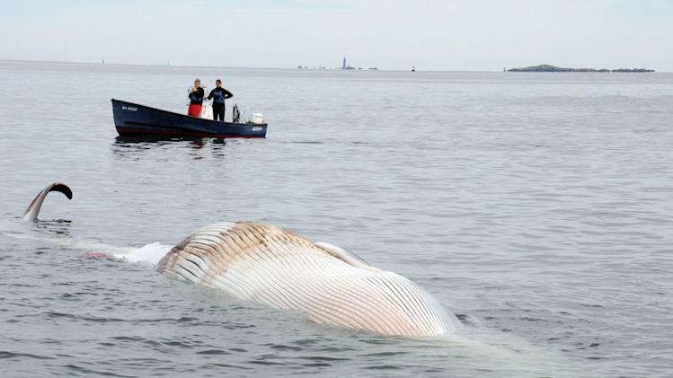 In this photo provided by the New England Aquarium, boaters watch as a dead 50-foot finback whale floats in the Boston Harbor, near Deer Island, Sunday, Oct. 7, 2012. Authorities don't know the cause of death. Coast Guard Petty Officer Robert Simpson says the whale was spotted early Sunday. Simpson says the Coast Guard took a team from the New England Aquarium to examine the whale and take samples. (AP Photo/The New England Aquarium)