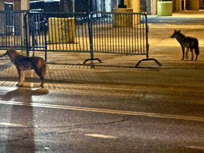 Photographer spots coyotes outside Wrigley Field
