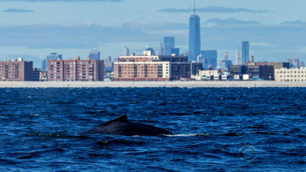There's a new tourist attraction in NYC: Whales