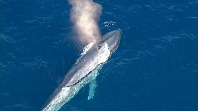 Blue whale stuck in fishing net in Southern California
