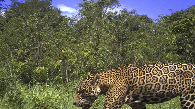 In this photo released by the New York-based conservation group Panthera, a male jaguar is photographed by a camera trap on Karanambu Ranch, in the Rupununi region of Guyana, in 2011. The lushly forested nation of Guyana on Thursday, Jan. 24, 2013 joined a regional pact to protect jaguars, the elusive spotted cat that is the biggest land predator in the Americas but is vulnerable due to expanded agriculture and mining that carves away at their fragmented habitat. (AP Photo/Panthera)
