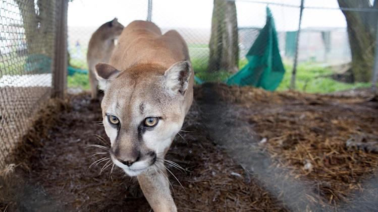 In this May 5, 2013, photo provided by the Humane Society of the United States a mountain lion is seen in it chain-link enclosure before being seized from a menagerie of wild cats in Atchison, Kan. Authorities said one tiger, two cougars, three bobcats, two lynx, one serval and two skunks, living in inadequate enclosures and were infrequently fed, were seized and a man is in custody. (AP Photo/HSUS, Kathy Milani)