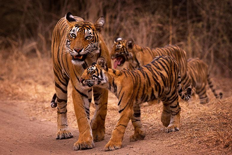 Are Captive U.S. Tigers Fueling Illegal Wildlife Trade?