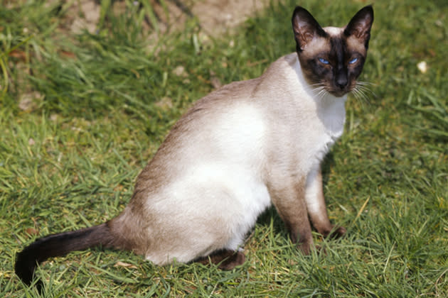 Siamese — Demanding But Devoted