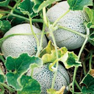 'Green Nutmeg' melon