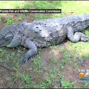 """Poncho"" The Croc Caught In Gables Canal Dies After Being Trapped"