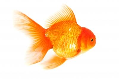 A Troubling of Goldfish