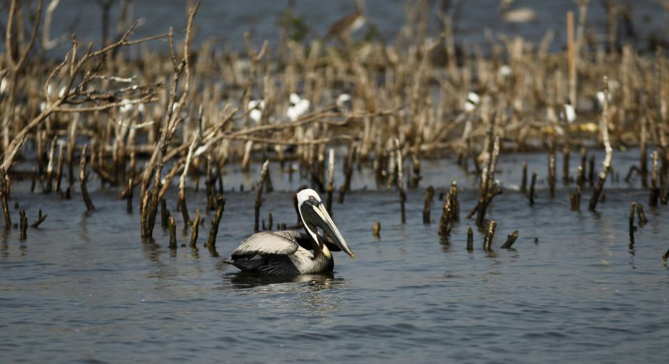A pelican swims near dead mangrove on the eroding shoreline of Cat Island in Barataria Bay in Plaquemines Parish, La., Wednesday, April 11, 2012. (AP Photo/Gerald Herbert)