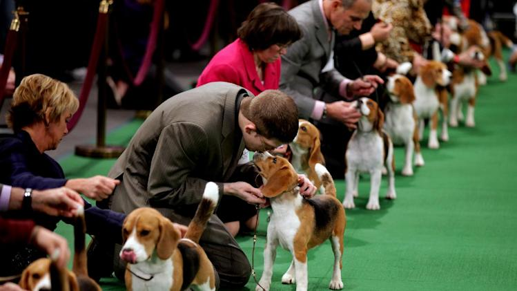 Keith Paladino of Lodi, N.J., second from left, works with a 15 inch Beagle as they line up in the ring for competition at the 136th annual Westminster Kennel Club dog show, Monday, Feb. 13, 2012, in New York. (AP Photo/Craig Ruttle)