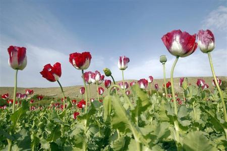 Poppy flowers are seen in full bloom in a field in the eastern province of Jalalabad