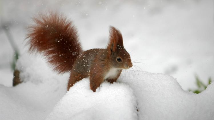 A squirrel sits in the snow in a garden in Wiesbaden, central Germany, Tuesday, March 12, 2013. Fresh snow fell in wide parts of Germany. (AP Photo/dpa, Fredrik Von Erichsen)