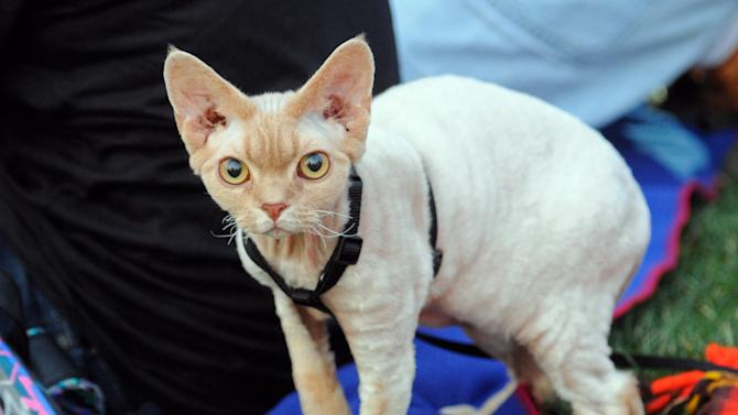 """Jenson, a Devon Rex, has a look around before the beginning of the Walker Art Center's first """"Internet Cat Video Film Festival,"""" showcasing the best of cat films on the Internet in Minneapolis, Minn., Thursday, Aug. 30, 2012. The Walker Art Center in Minneapolis held its first-ever online cat video festival, a compilation of silly cat clips that have become an Internet phenomenon, attracting millions of viewers for some of the videos. (AP Photo/Craig Lassig)"""