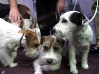 Two New Breeds Added to Westminster Kennel Club