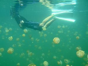 Swimming with Jellyfish in Palau