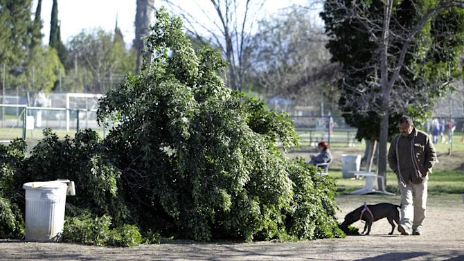 A visitor to the Sepulveda Basin Dog Park checks out a tree that was blown down by heavy winds in the Encino section of Los Angeles on Saturday, Jan. 24, 2015. A brief but powerful round of Santa Ana winds with gusts topping 60 mph toppled trees and power lines in Los Angeles. About 9,000 customers were without electricity in the San Fernando Valley Saturday morning. (AP Photo/Richard Vogel)