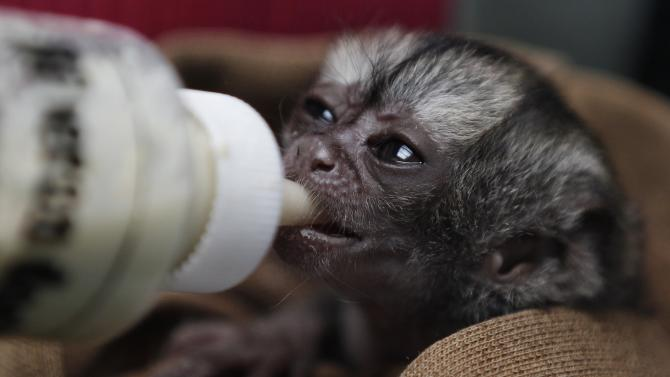 A 15-day-old night monkey is fed by at a temporary shelter west of Bogota, Colombia, Monday, Feb. 18, 2013.  The male night monkey arrived at the center on Feb. 4, weighing a scant 100 grams, or about one-quarter of a pound. It was brought by a man who said he found it abandoned on the side of a highway in Colombia's eastern plains near Meta province, said Judith Cardenas, the center's chief biologist. The plan, according to Cardenas, is to let the baby monkey grow and then place him in a large cage in the center, next to another monkey of the same species. (AP Photo/Fernando Vergara)