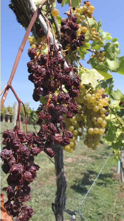 In this Aug. 15, 2012 photo, Chardonel grapes show the effects of the Midwest's drought in the six-acre vineyard at OakGlenn Winery near Hermann, Mo. While the lingering dryness and heat throughout mu
