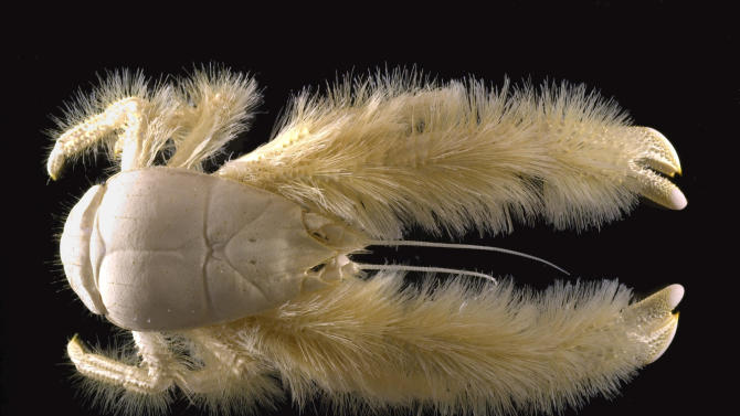 This undated handout image provided by the National Museum of National History in Paris, France, shows a blind new species, distantly related to the squat lobster family, which was found in 2005 in hydrothermal vents where the East Pacific Rise meets Antarctica. We live in a much wilder world than it looks. A new study estimates that Earth has almost 8.8 million species, but the vast majority of those species are types of animals yet to be discovered. And they could be in our own backyard, scientist say. (AP Photo/Michel Segonzac, National Museum of National History in Paris, France)