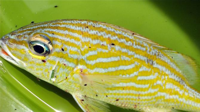 "This undated picture released by the National Science Foundation on Wednesday, July 11, 2012, shows a Caribbean fish known as French Grunt infested with the ""Gnathia marleyi"" parasite. Arkansas State University marine biologist Paul Sikkel discovered the tiny blood-sucking marine parasite, a new species within the family of gnathiids, that infests fish on Caribbean coral reefs and named it after Jamaican reggae icon Bob Marley. (AP Photo/National Science Foundation, Elizabeth Brill)"