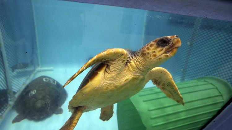 In this Thursday, Dec. 6, 2012 photo, a rescued green sea turtle swims in a tank at the New England Aquarium's Animal Care Center in Quincy, Mass. Some 207 sea turtles have stranded on Cape Cod this fall. That exceeds the 50-to-200 range that typically are stranded in the season from October to December. (AP Photo/Elise Amendola)