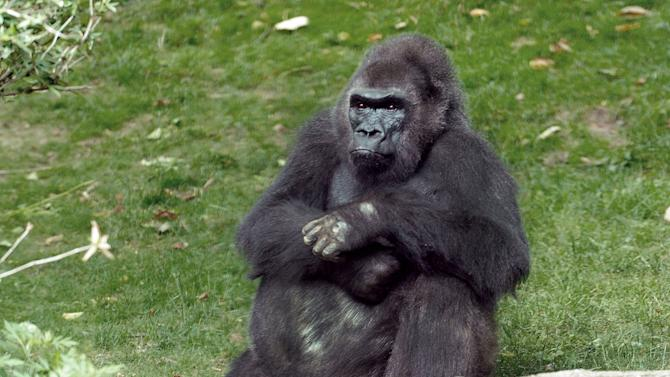 This undated photo provided by the Wildlife Conservation Society in New York, Monday, April 1, 2013, shows Pattycake, the first gorilla born in New York City. Pattycake has died at the Bronx Zoo. She was 40-years-old and suffering from chronic cardiac problems. (AP Photo/Wildlife Conservation Society, Julie Larsen Maher)