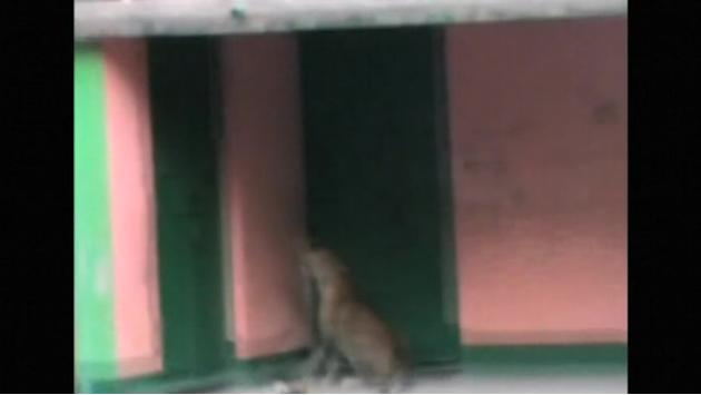 Leopard strays into Indian village