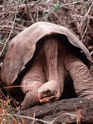"Tortoise ""Lonesome George,"" in this 1985 photo, is the only remaining specimen of a subspecies of giant tortoise found in the Galapagos Islands, which are in the Pacific Ocean off the coast of Ecuador.  George was found in the 1970s, living alone on the island of Pinta. His bachelor status is a problem because scientists don't want to see his genetic attributes become extinct. Yale University biologists playing matchmaker to a lonely but hard-to-please tortoise say all his prospects so far have been geographically and genetically undesirable. (AP Photo/Charles Darwin Foundation, Heidi Snell)"