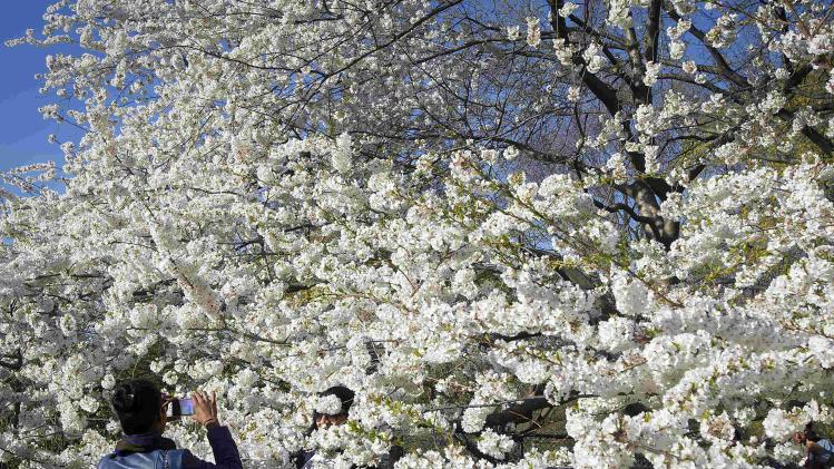 People take photos with a cherry tree in full blossom in Central Park in New York