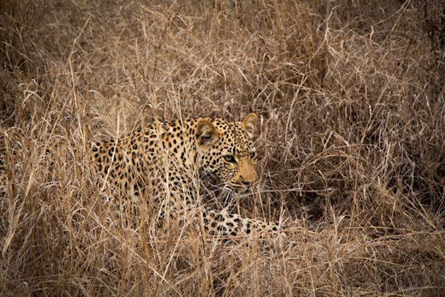 Thornybush leopard on the move