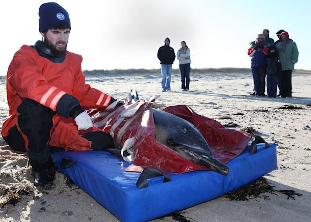New England Aquarium biologist, Eric Payne, sits with a rescued common dolphin minutes before it is released back into Cape Cod Bay at Scusset Beach, Saturday, Jan. 14, 2012 in Sagamore Beach, Ma. The dolphins are two of at least 28 dolphins that stranded along Cape Cod Bay's shores from Dennis to Wellfleet. 11 dolphins were successfully released back into the bay. (AP Photo/Julia Cumes)