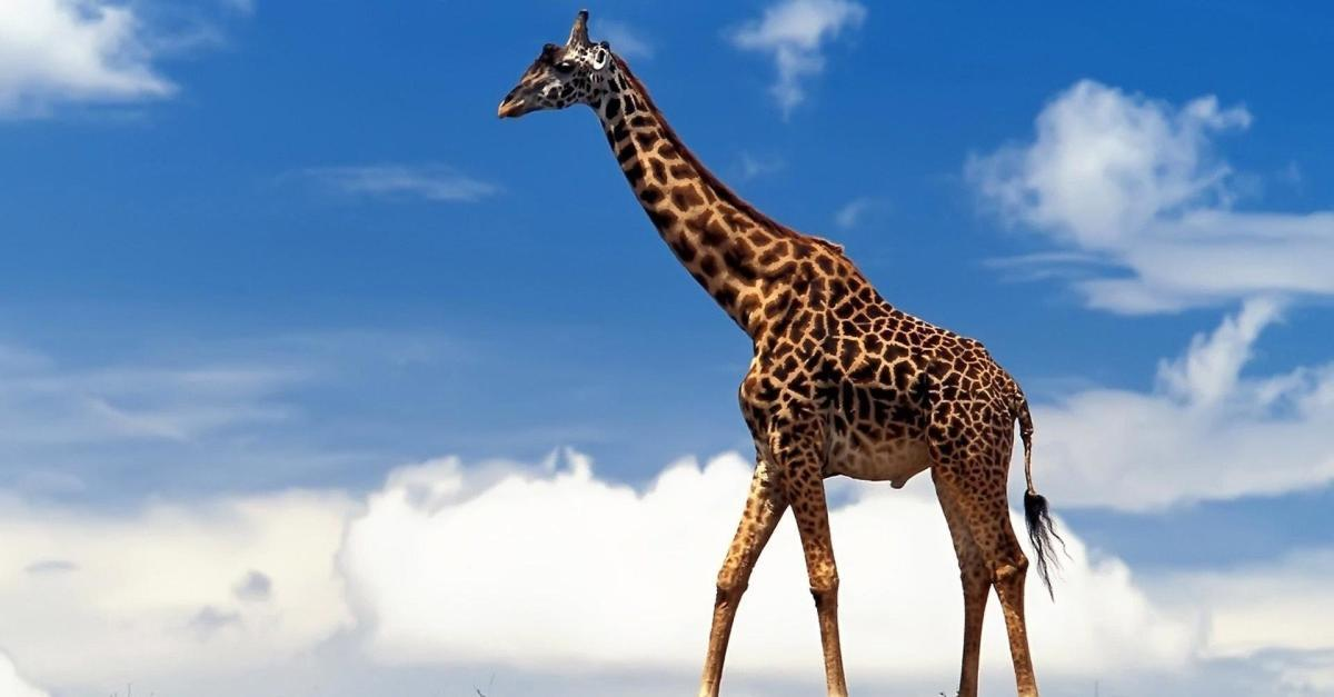 13 Things You Never Knew About Giraffes