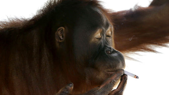 Tori, a 15-year-old orangutan, smokes a cigarette inside her cage at Satwa Taru Jurug zoo in Solo, Central Java, Indonesia, Friday, July 6, 2012. Zookeepers said they plan to move Tori, who learned to smoke about a decade ago by imitating people, away from visitors who regularly throw lit cigarettes into her cage so they can watch and photograph her puffing away and exhaling smoke. (AP Photo)