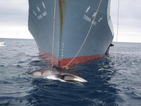 Amid Controversy, Japanese Whaling Ships Return to Antarctic Ocean