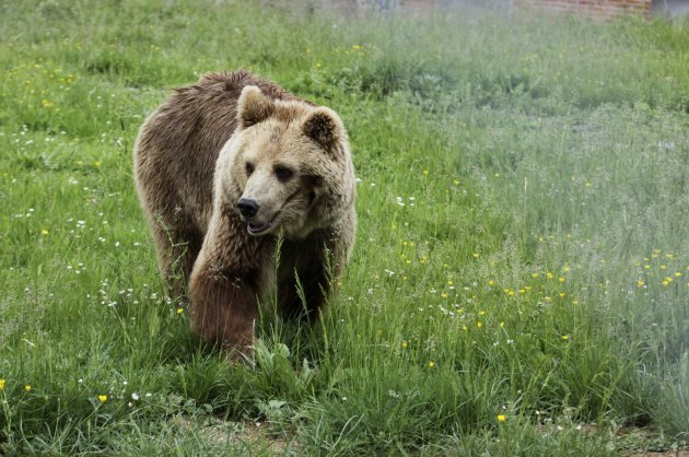 A bear is seen at a sanctuary after having been taken from a private zoo in the Kosovo town of Prizren