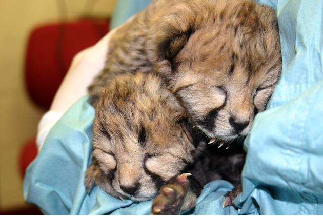 Cheetah Cubs at National Zoo