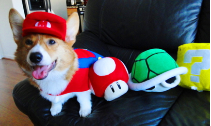 How a Corgi Does a Costume