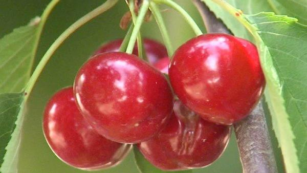Growers check cherries for rain damage