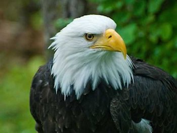 bald eagle hawk