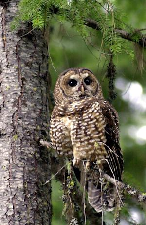 A northern spotted owl sits on a tree in the Deschutes National Forest near Camp Sherman, Ore. To save the endangered spotted owl, the Obama administration is moving forward with a plan to shoot barred owls, a rival bird that has shoved its smaller cousin aside. The plan is the latest government attempt to protect the northern spotted owl, the meek, one-pound bird that sparked an epic battle over logging in the Pacific Northwest two decades ago. (AP Photo/Don Ryan, File)