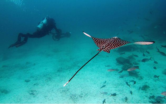 In this May 2013 photo provided by Catlin Seaview Survey, Christophe Bailhache with an SVII camera is escorted underwater by a Spotted Eagle Ray during a survey dive in the Galapagos Islands. Few have